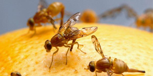 mosca fruita